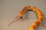 Eine Kornnatter verschlingt eine Maus in der Auffangstation im Natur- und Tierpark Goldau.